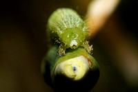 Lovely Larva