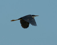 Flying Heron