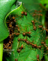 Chinese Weaver Ants